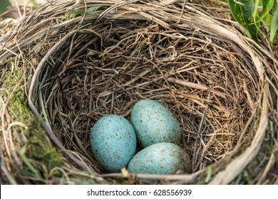 a red winged blackbird nest in some reeds with three eggs.