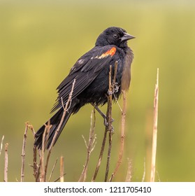 Red winged blackbird perched on the reeds over looking the Marsh