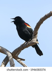 A red winged blackbird perched in a tree.