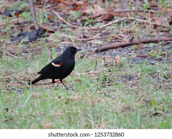 Red winged blackbird standing on ground