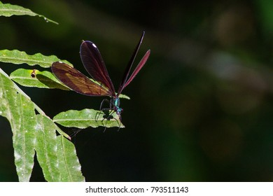 Red winged damselfly with turquoise body - female Matrona Basilaris captured on Taiwan