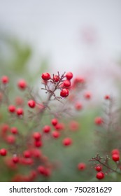 Red Winter Berries on Branch in Fog