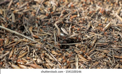 Red wood ants moving on the nest. Anthill with red wood ants in spring close up
