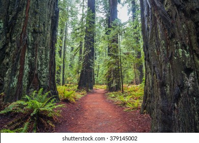Red wood forest, the tallest trees on earth, Califormia, USA