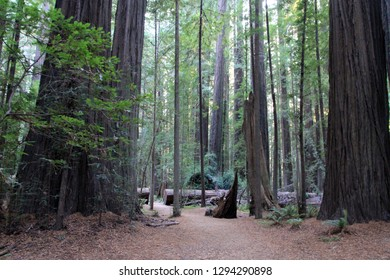Red Woods National park in USA