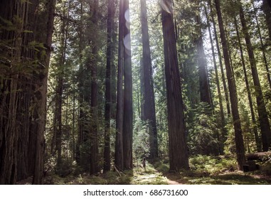red woods trees, woman silhouette in the middle