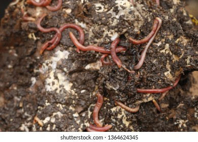 Red worms in compost or manure. Live bait for fishing
