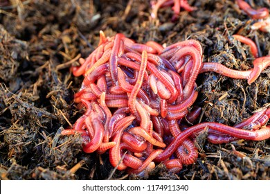 red worms in a dunghill, red-colored striped worms on a summer day for a fishing nozzle