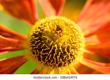 Red & yellow African daisy