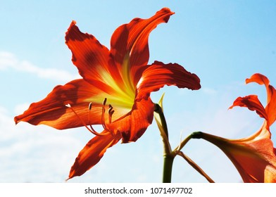 Red with yellow Amaryllis flower on blue sky background