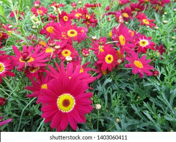 Red and yellow Argyranthemum flowers in spring 2019