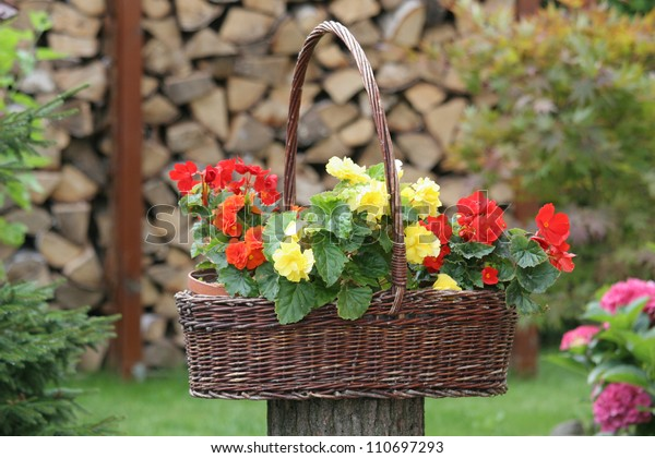 Red, yellow Begonia flowers in the wicker basket