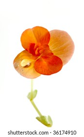 red yellow begonia,isolated on white,with water drops