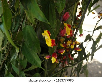 Bell shaped flower images stock photos vectors shutterstock red and yellow bell shaped flowers hanging from vines in the garden mightylinksfo
