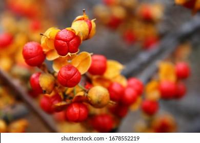 Red with yellow berries of oriental bittersweet or Chinese bittersweet or Asian bittersweet or round-leaved bittersweet (Celastrus orbiculatus) close up
