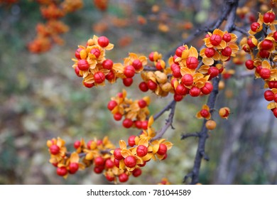Red with yellow berries of oriental bittersweet