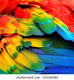 Red Yellow and Blue feathers of Scarlet Macaw bird with beautiful colors profile