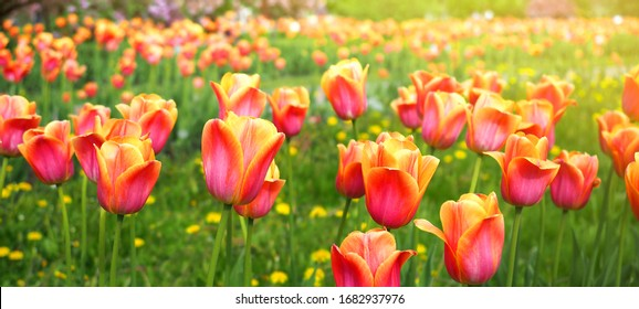 Red and yellow bright tulips field. Colorful panoramic flowers banner.