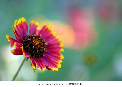 Red and Yellow California Blanket Flower with natural background