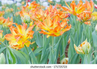 Red and Yellow Colored Tulip Flower