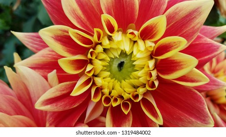 red and yellow dahlia flower petals with green leaves