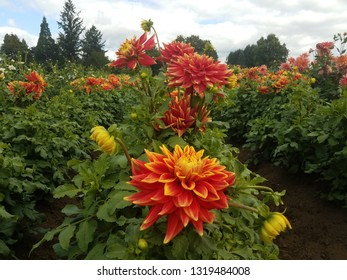 red and yellow dahlia flower petals with green leaves in field
