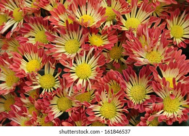 Red and yellow daisies