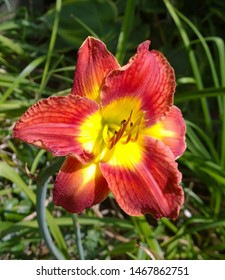 Red and yellow daylilly in full bloom