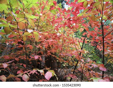 Red and Yellow Dogwood Trees in the Forest