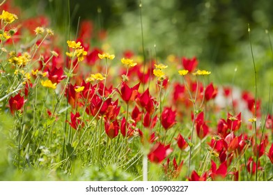 Red and yellow flower field in Spring