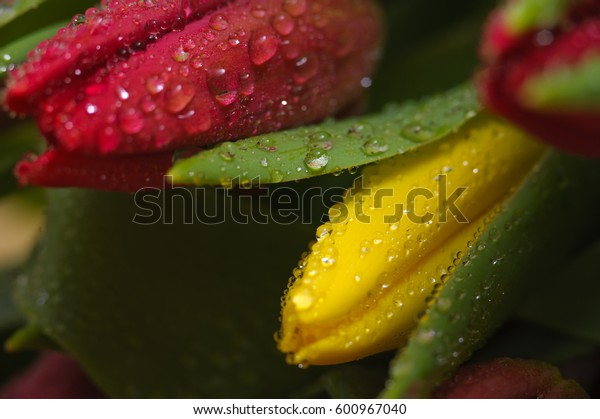Red and yellow fresh tulips with water drops