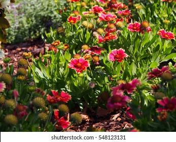 Red and yellow Gaillardia aristata 'Sunset Snappy'- Common blanketflower in full bloom