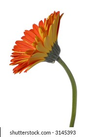 Red And Yellow Gerber Daisy Isolated On A White Background, ( Asteraceae/Compositae )