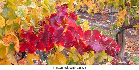 Red and Yellow Grape Leaves