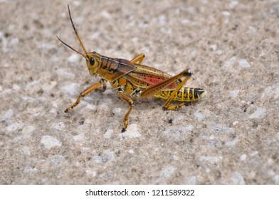 Red & Yellow Grasshopper