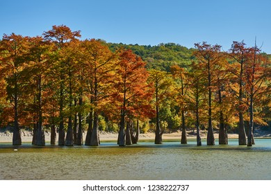 Red yellow green leaves on the branches of marsh cypresses. Famous old deciduous coniferous trees (Taxódium dístichum) of the cypress family growing in the water of a mountain lake. Sukko Valley
