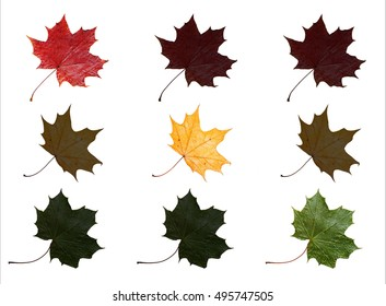 Red, yellow and green maple leaves arranged like traffic light