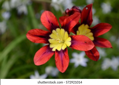 Red and yellow Ixia  flowers Iridaceae