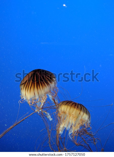 red yellow jellyfish with blue background