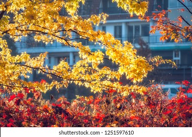 Red and yellow leaves at golden hour on a blurred undescript building background in Fujikawaguchiko, a Japanese resort town at the northern foothills of Mount Fuji, Japan.