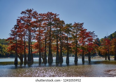 Red yellow leaves on the branches of the marsh cypresses. Known old deciduous conifers (Taxódium dístichum) of the cypress family growing in the water of a mountain lake. Sunny day. Sukko Valley