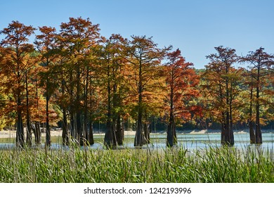 Red yellow leaves on the branches of the marsh cypresses. Famous old deciduous conifers (Taxódium dístichum) of the cypress family growing in the turquoise water of a mountain lake. Sukko Valley
