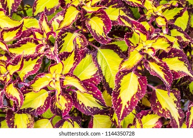Red and yellow leaves of ornamental plant coleus for background
