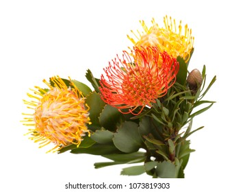 red and yellow Leucospermum, pincushion protea isolated on white background