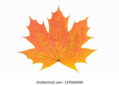 Red and yellow maple leaf as an autumn symbol as a seasonal themed concept as an icon of the fall weather on an isolated white background..