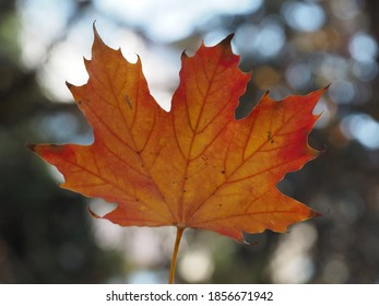 red and yellow maple leaf with red veins on a blurred background