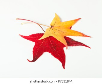 A red and yellow maple leaves isolated on white. These leaves  are of Acer Truncatum species of maple found in Florida.