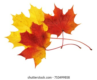 Red and yellow maple leaves on white background