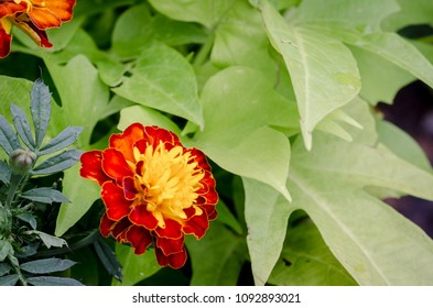 red and yellow marigold - landscape