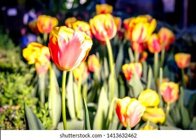 Red Yellow Night Light Tulip